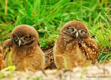 Burrowing owlets at Brian Piccolo Park