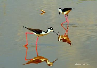 Pair of Black-necked Stilts, Eco Pond, Everglades National Park