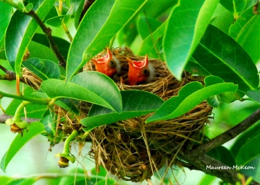 Hungry red-winged blackbird chicks, GreenCay Wetlands