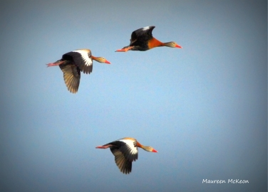 The trio of black-bellied whistling ducks in flight