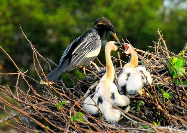 Anhinga with two chicks, Wakadahatchee Wetlands