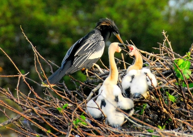 Anhinga with two chicks, Wakadahatchee Wetlands