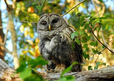 Barred Owl, Everglades National Park