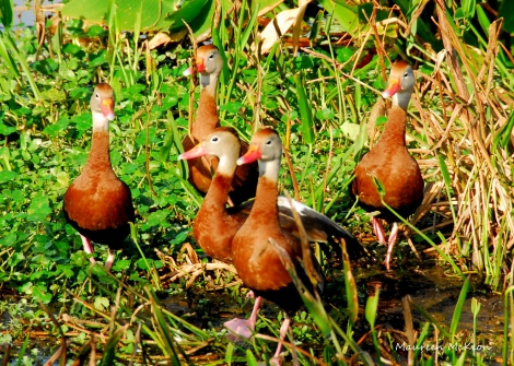 A group of black-bellied whistling ducks