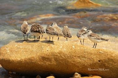 Shorebirds look to sea, John D MacArthur Beach State Park