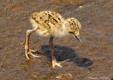 Blacknecked stilt chick