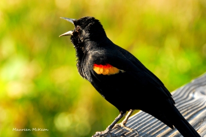 Red-winged blackbird, Green Cay