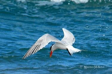 Caspian Tern at John D MacArthur Beach State Park