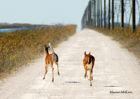 Two white tail deer on a road trip, Holey Land Wildlife Management Area