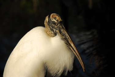 Wood stork at Flamingo Gardens