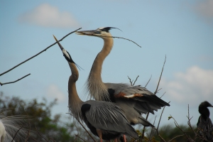 A pair of Great Blue Herons building a nest.