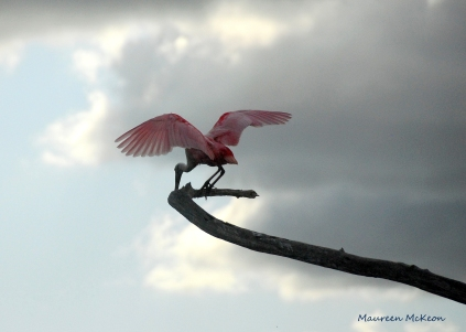 Roseate Spoonbill lands on a limb