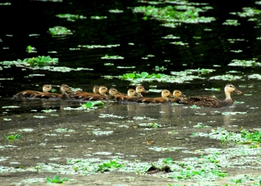 Mottled duck with 9 ducklings at Green Cay Wetlands