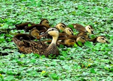 DucklingsDSC_0317