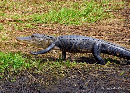 Gator Yoga, Anhinga Trail
