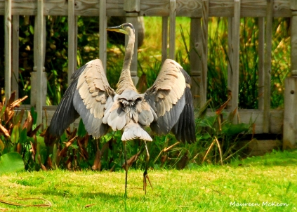 Great blue heron, Fairchild Tropical Gardens