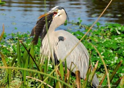 Great blue heron and catch of the day