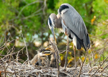 A great blue heron and hungry chicks
