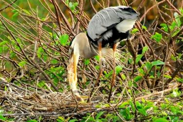 Great Blue Heron feeding a fish to chicks