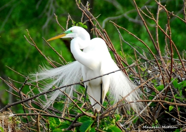 A Great Egret with beautiful breeding feathers