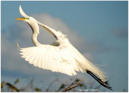 Great Egret in flight, Wakodahatchee Wetlands