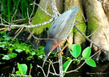 Pretty Green Heron