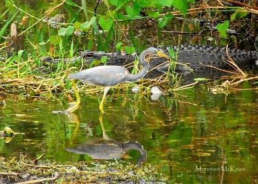Great blue heron and alligator, Everglades National Park