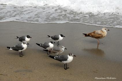 Gulls walking near the surf, Hollywood Beach