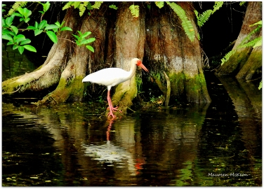 White Ibis and tree reflection, Big Cypress