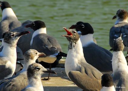 Laughing gulls at Flamingo, Everglades National Park