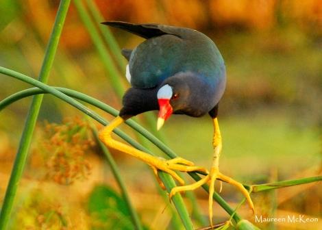 Purple gallinule finds his balance.