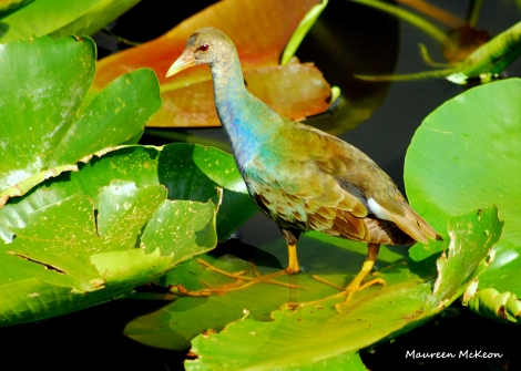 Purple gallinule juvenile, Wakodahatchee Wetlands