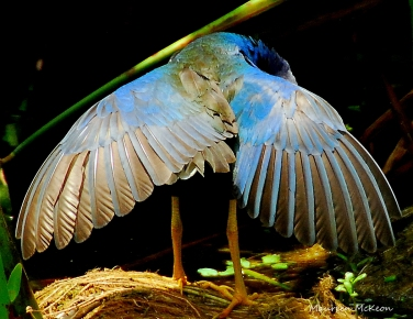 A purple gallinule preening his magnificent wings