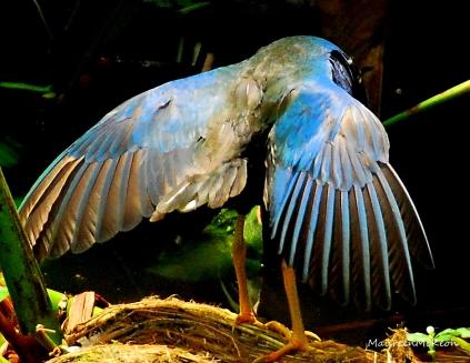 Purple Gallinule Spreading his wings
