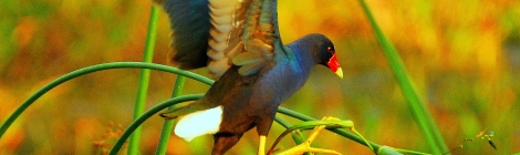 Purple Gallinule keeps his balance