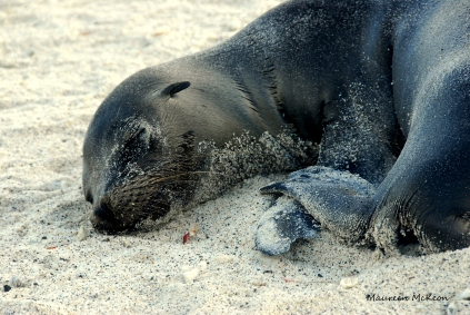 Sleepy sea lion, Galagos