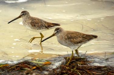 Shorebirds at Flamingo, Everglades National Park