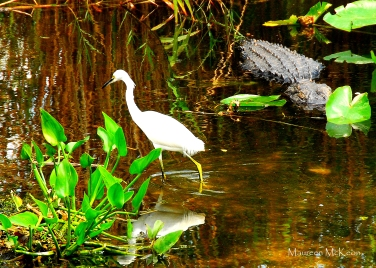 Snowy Egret and Alligator on Anhinga Trail, Everglades National Park