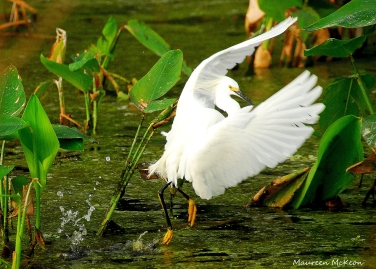 snowy egret landing a Green Cay