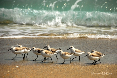 Shorebirds running along the surf, John MacArthur Beach State Park