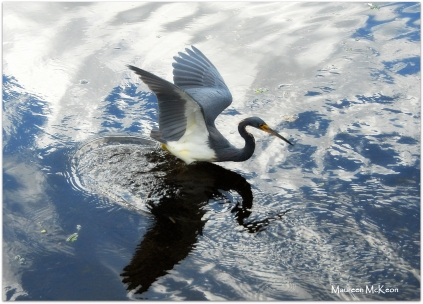 A tricolored heron and sky reflection