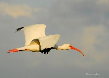 White ibis flying over Loxahatchee
