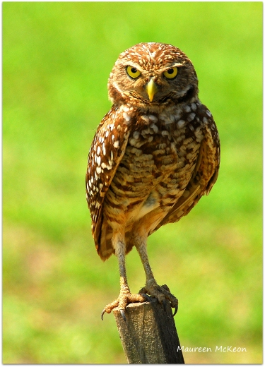 Burrowing owl keeps watch over the nest
