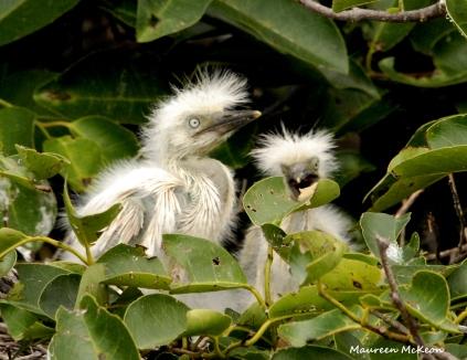 Cattle egret chicks on the nest, Wakodahatchee Wetlands