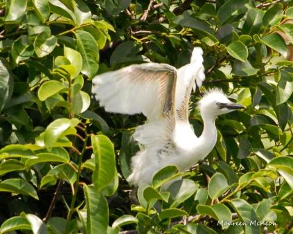 Cattle egret fledgling tries its wings, Wakodahatchee Wetlands