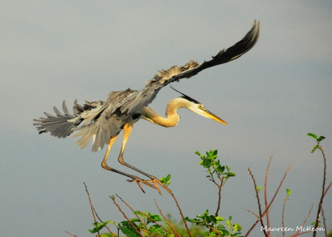 Great Blue Heron lands on the rookery tree