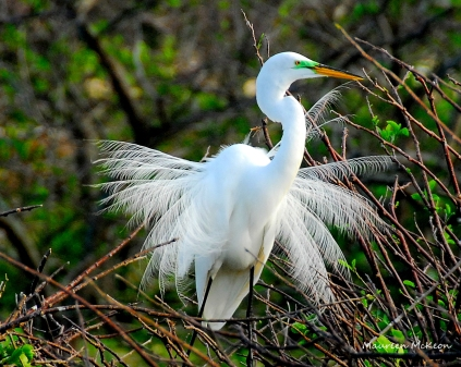 Great White Egret with breeding plumage