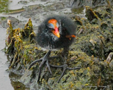 Moorhen Chick at Green Cay