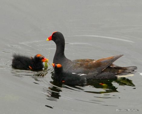 Moorhen feeding her chick, Green Cay Wetlands