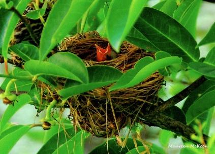 Red-winged blackbird chick